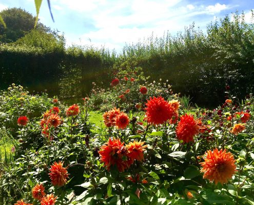 Autumn Garden, dahlias 1